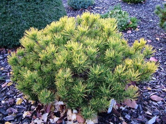 Pinus mugo 'Carsten's'
