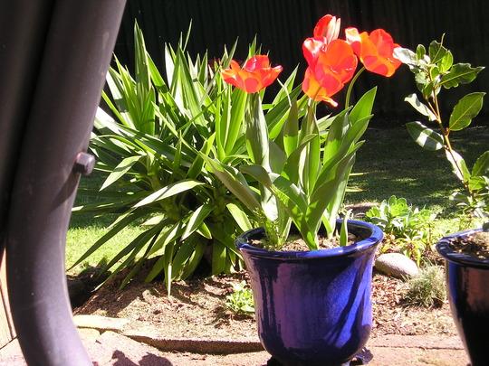 ~RED TULIPS IN POT~