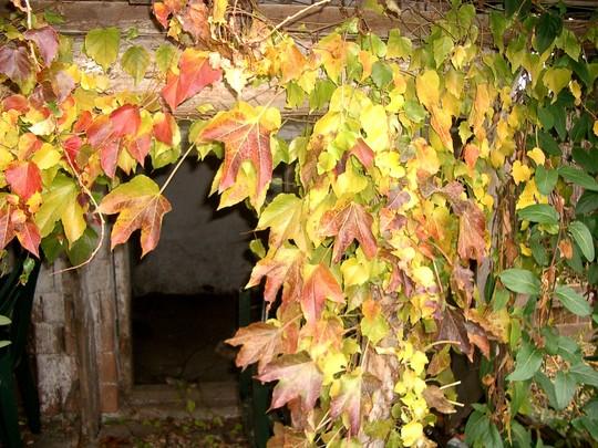 Boston Ivy (Parthenocissus tricuspidata (Boston ivy))