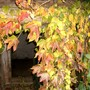 Boston Ivy (Parthenocissus tricuspidata (Boston ivy))