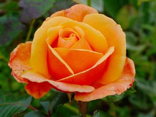Rose, Bodnant Garden, N. Wales