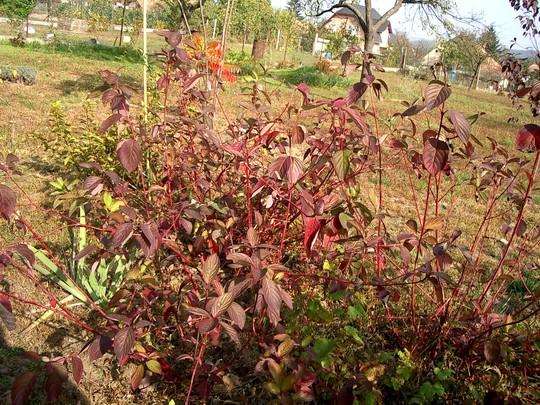 Dogwood in Autumn (Cornus Sibirica)