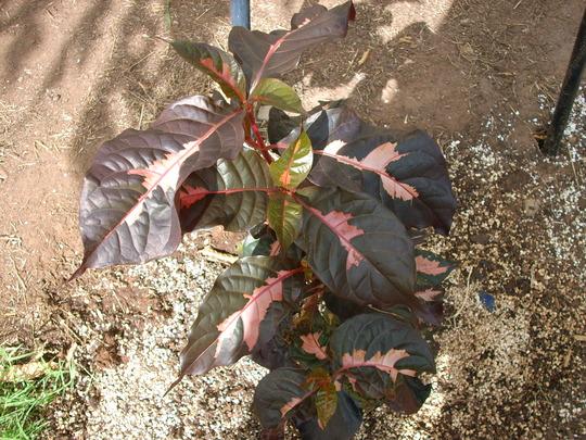 Graptophyllum pictum 'black magic' (Graptophyllum pictum 'black magic')