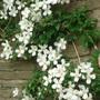 Clematis montana (Clematis montana)