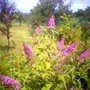 Blue Buddleia? (Buddleja davidii (Butterfly bush))