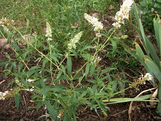 White Buddleia (Buddleja davidii (Butterfly bush))
