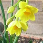 Narcissus 'Grand Soleil d'Or' (Narcissus 'Grand Soleil d'Or')