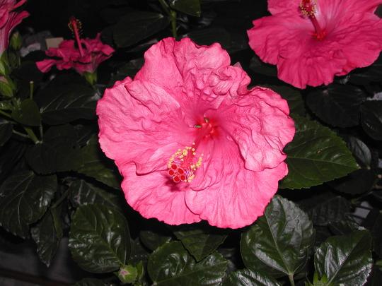 Tye-Dye Wind Tropical Hibiscus (Hibiscus rosa-sinensis (Chinese Hibiscus))