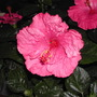 Tye-Dye Wind Tropical Hibiscus (Hibiscus rosa-sinensis (Chinese Hibiscus))