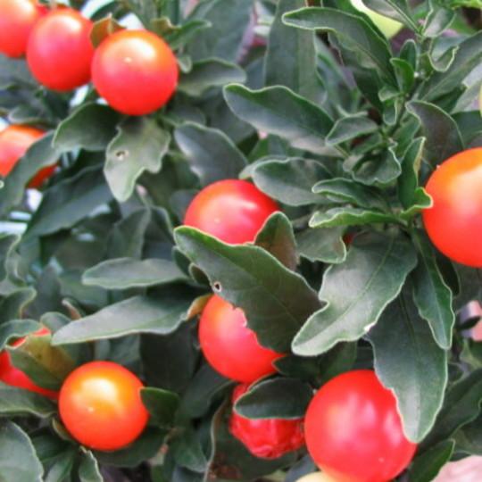 Winter Orange (Solanum)