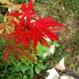 Acer with new leaves in late summer (Acer palmatum (Japanese maple))