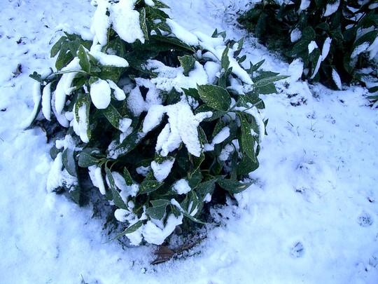 Aucuba in snow (Aucuba japonica (Aucuba))