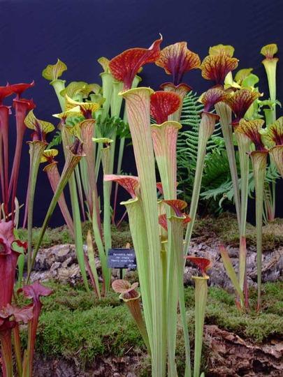 Pitcher plants, Shrewsbury flower show '08