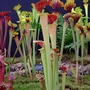 Pitcher plants, Shrewsbury flower show '08