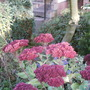 sedum spectabile (sedum specabile (autumn joy))