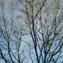 ash tree (ash)