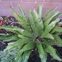 shady side of the house (asplenum scolopendrium)