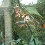 leycesteria formosa (Leycesteria formosa (False Nutmeg))