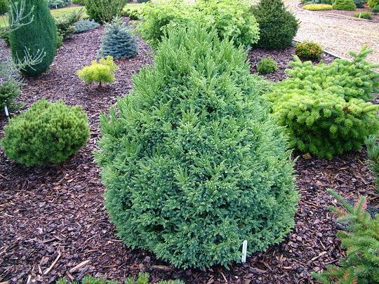 Cryptomeria japonica 'Little Diamond' (common name; Japanese cedar)