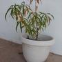 Peach_tree.11.01.08_003.goy
