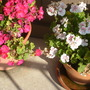The 'Americana' geraniums - 'Violet' and 'White Splash'. (Pelargonium)