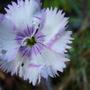 Last flower on the Dianthus (Dianthus)