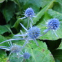 Sea Holly (Eryngium maritimum (Common Sea Holly))