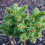 Picea abies  'Alena' (common name; Norway spruce)