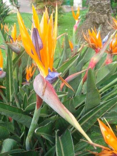 Bird of Paradise flower (Strelitzia Reginae) - Nice 2008 (Strelitzia Reginae)
