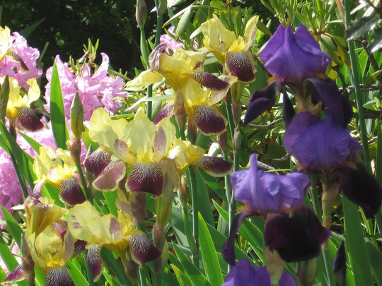 irises (Iris germanica (Orris))