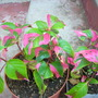 Alternanthera 'Party Time' (Alternanthera 'Party Time')