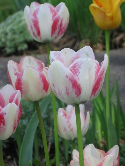tulips garden 07