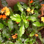 Crossandra infundibuliformis 'orange' -  Firecracker plant (Crossandra infundibuliformis 'orange' -  Firecracker plant)