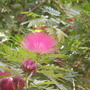Calliandra haematocarpa