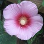 Hollyhock_coming_into_flower