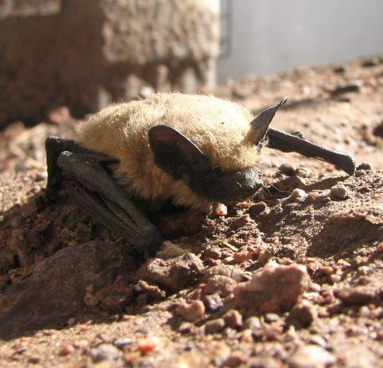 Pipistrellus Hespera (Bat)