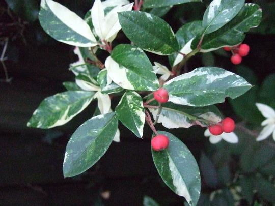 Photinia davidiana 'Palette' berries (Photinia davidiana)