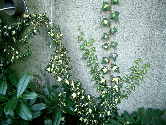 IMGP4155.jpg (Hedera helix (English ivy))