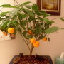 Bonsai Calamondin Mandarin Orange