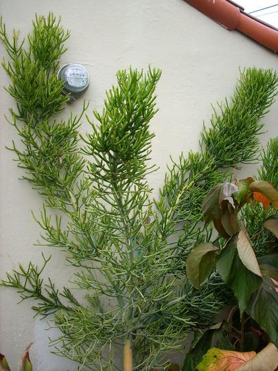 Euphorbia tirucalli - Pencil Bush (Euphorbia tirucalli - Pencil Bush)