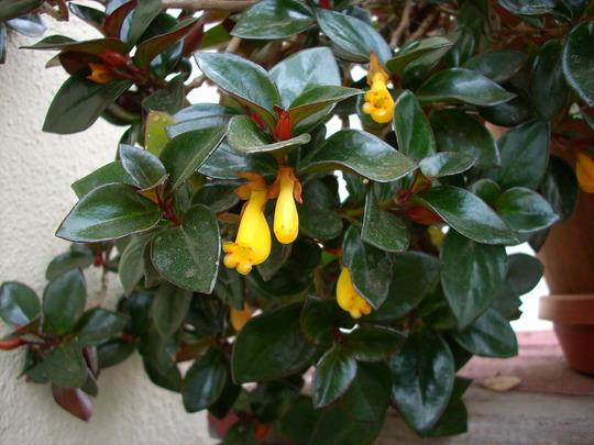 Nematanthus wettsteinii - Goldfish Plant (Nematanthus wettsteinii - Goldfish Plant)