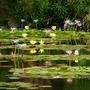 Australian waterlilies