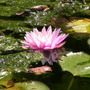 British waterlily
