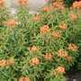 Euphorbia Griffiti Fireglow