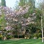Prunus_spring
