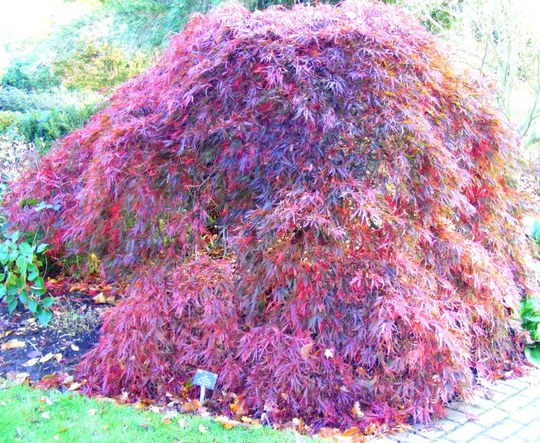 Acers at Wisley
