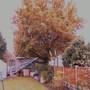Oak tree wont relinquish its leaves