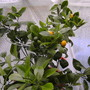my little orange tree
