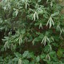Garrya_elliptica_james_roof_flower_buds