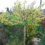 Physocarpus opulifolis 'Dart's Gold' - autumn foliage (Physocarpus opulifolius)